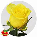 Роза желтая Пени Лейн 40 - 100 см, фото 9