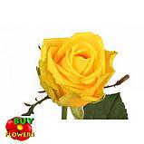 Роза желтая Пени Лейн 40 - 100 см, фото 3