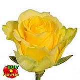 Роза желтая Пени Лейн 40 - 100 см, фото 7
