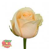 Роза персиковая Пич Аваланч 40 - 90 см, фото 2