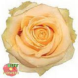 Роза персиковая Пич Аваланч 40 - 90 см, фото 3