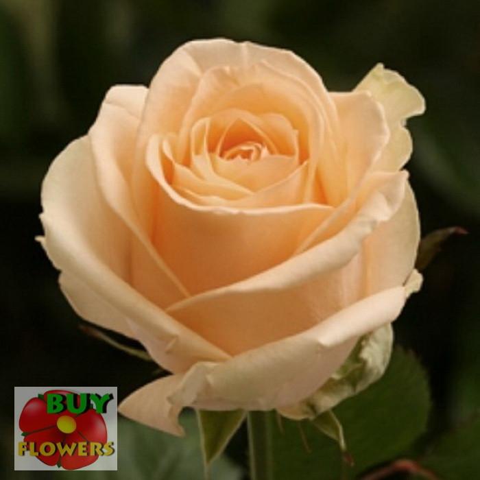 Роза персиковая Пич Аваланч 40 - 90 см