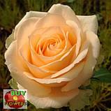 Роза персиковая Пич Аваланч 40 - 90 см, фото 6