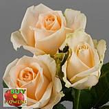 Роза персиковая Пич Аваланч 40 - 90 см, фото 4