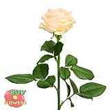 Роза персиковая Пич Аваланч 40 - 90 см, фото 5