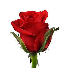 Роза красная Ред Игл 40 - 100 см