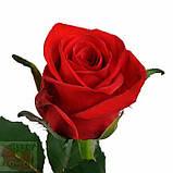 Роза красная Ред Игл 40 - 100 см, фото 5