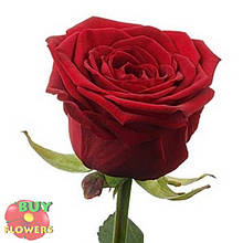 Красная роза Ред Наоми 40 - 100 см
