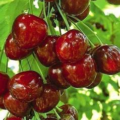 Садженцы черешни сорт Бигаро Булат