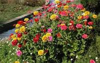 Семена цветов Циния махровая(смесь)