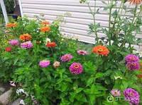 Семена цветов Циния карликовая(смесь)