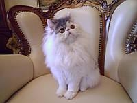 Персидские кошки питомника