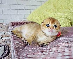 Мальчик. Шотландская вислоухая золотая шиншилла, рожден 15.03.2021 в питомнике Royal Cats. Украина, Киев