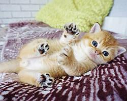 Мальчик. Шотландская прямоухая золотая шиншилла, рожден 15.03.2021 в питомнике Royal Cats. Украина, Киев