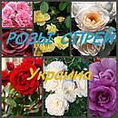 Розы веточные (спрей) Украина
