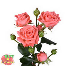 Персиковая роза спрей Барбадос