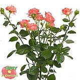 Персиковая роза спрей Барбадос, фото 2