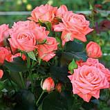 Персиковая роза спрей Барбадос, фото 7