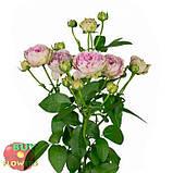 Розовая роза спрей Блоссом Баблз, фото 2