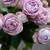 Розовая роза спрей Блоссом Баблз, фото 5