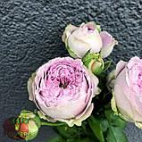 Розовая роза спрей Блоссом Баблз, фото 4