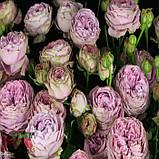 Розовая роза спрей Блоссом Баблз, фото 7