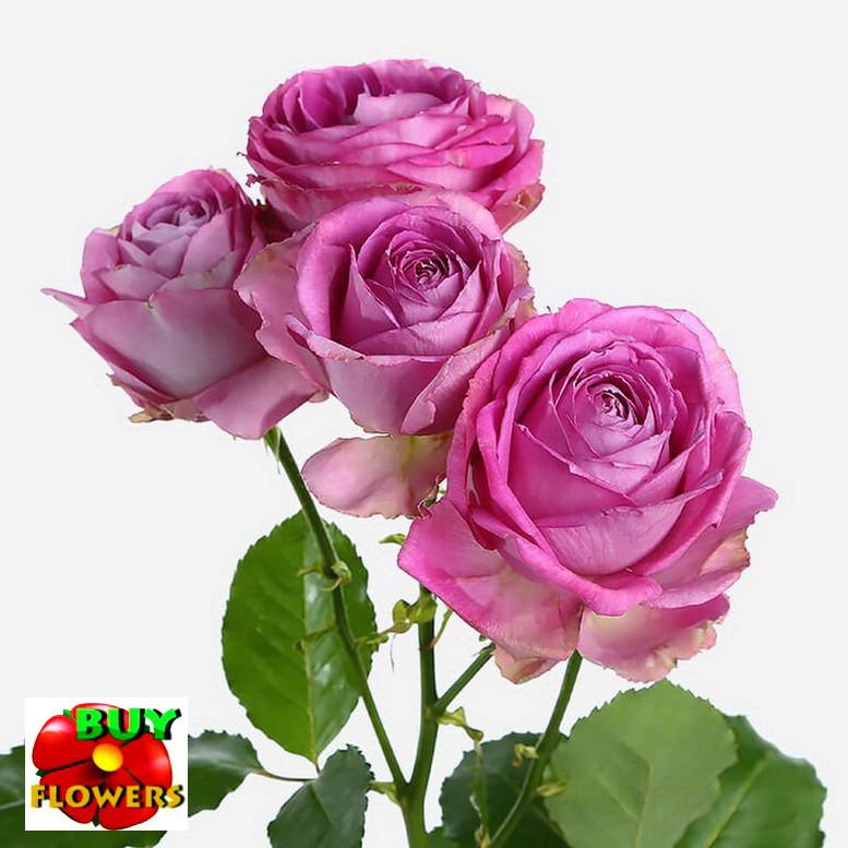 Лавендер Лейс роза ветка