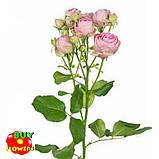 Роза розовая Лавендер Лейс екстра, фото 2
