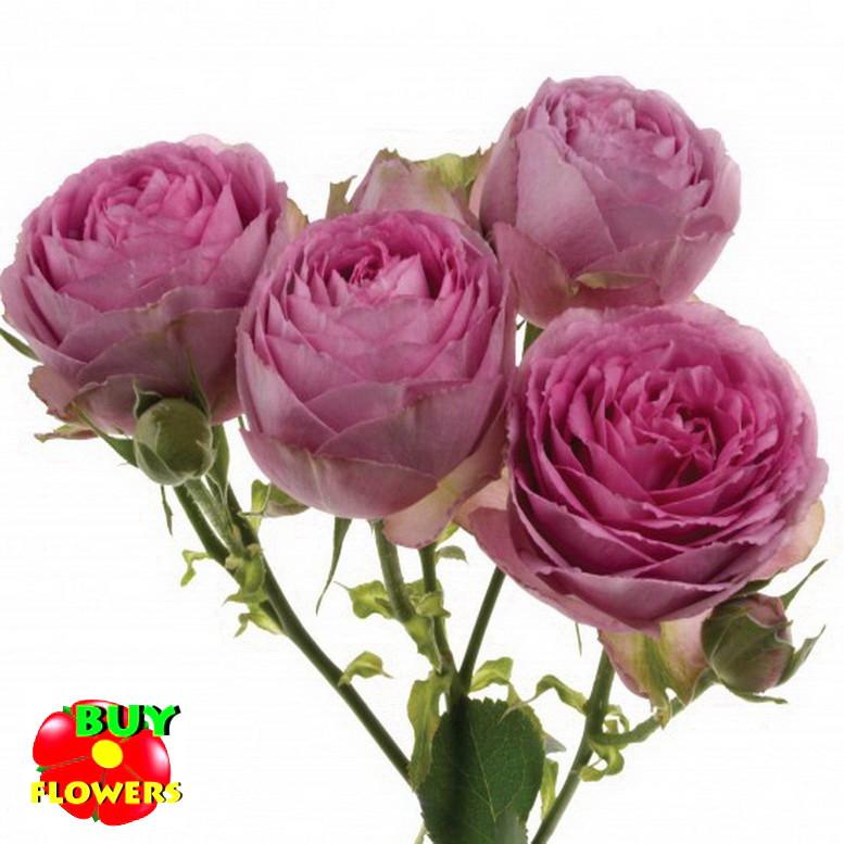 Роза розовая Лавендер Лейс екстра