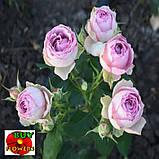 Роза розовая Лавендер Лейс екстра, фото 5