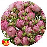 Роза розовая Лавендер Лейс екстра, фото 8