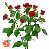 Мирабель роза спрей, фото 2