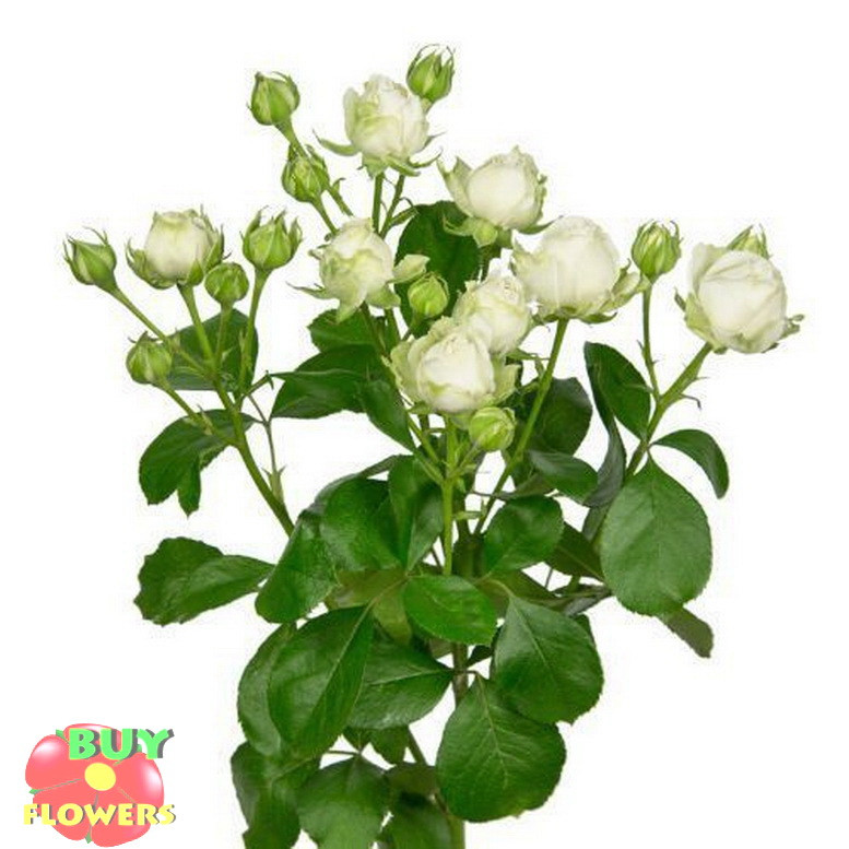Мисс Бомбастик роза белая спрей