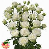 Мисс Бомбастик роза белая спрей, фото 4
