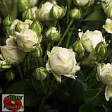 Мисс Бомбастик роза белая спрей, фото 2