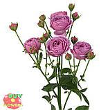 Мисти Баблз роза пионовидная, фото 3