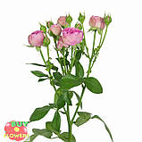 Мисти Баблз роза пионовидная, фото 4