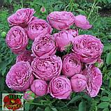 Мисти Баблз роза пионовидная, фото 6