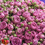 Мисти Баблз роза пионовидная, фото 5