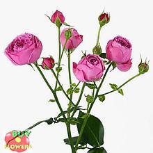 Мисти Баблз роза пионовидная