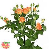 Оранж Фаер роза спрей, фото 2