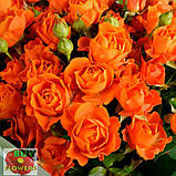 Оранж Фаер роза спрей, фото 3