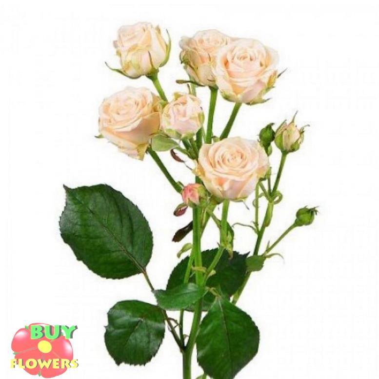 Таня роза кремовая ветка