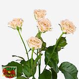 Таня роза кремовая ветка, фото 2