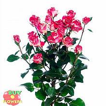 Фаерворкс роза двухцветная