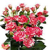 Фаерворкс роза двухцветная, фото 6
