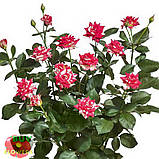 Фаерворкс роза двухцветная, фото 8