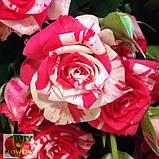 Фаерворкс роза двухцветная, фото 5