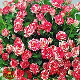 Фаерворкс роза двухцветная, фото 9