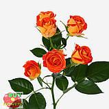 Фиеста Баблз розы, фото 2